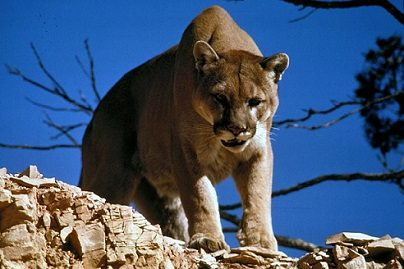 A mountain lion on the prowl