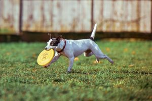 happy dog running with frisbee