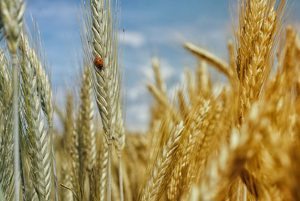 close up of wheat in field and lady bug