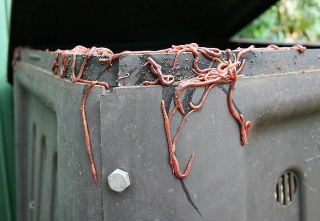 worms on composting bin